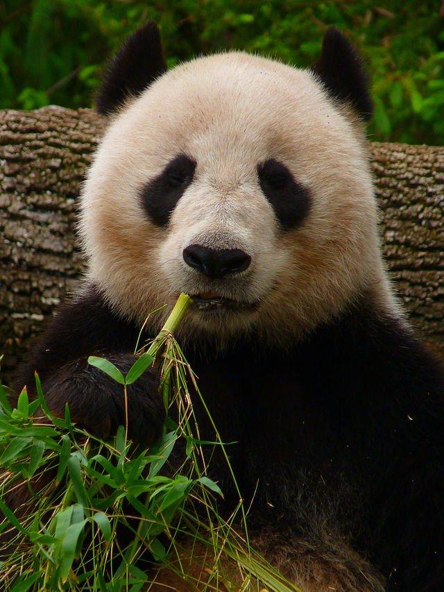 Giant_Panda_eating_Bamboo