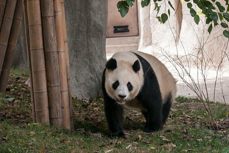 Panda-breeding