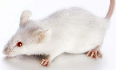 White-Mouse-001