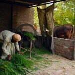 Punjabi_farmer_preparing_cattle_feed