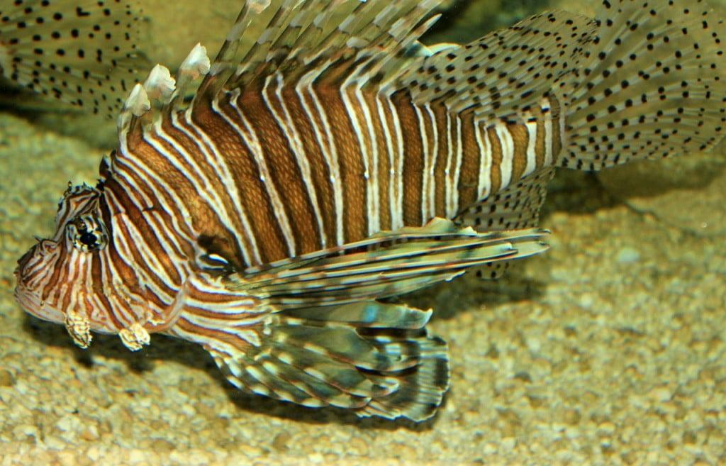 lionfish-347248_1280