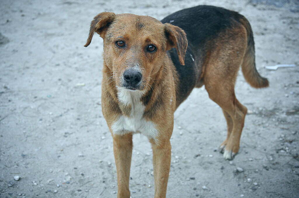 stray dog 1